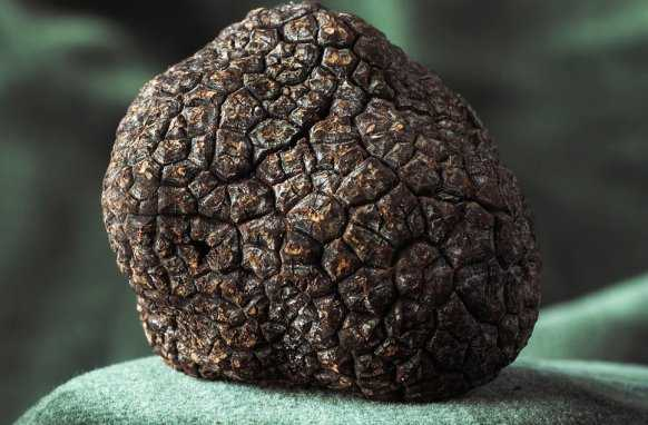 well-known rare culinary ingredient truffle