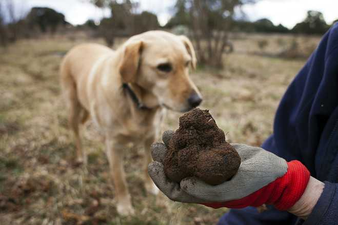 do truffles grow in the united states