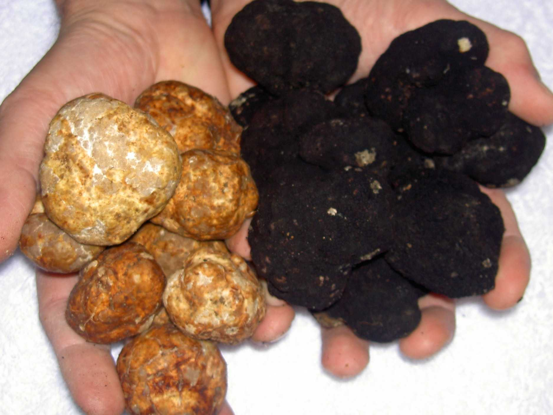kinds of truffles